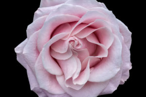flower, nature, photograph, pink, rose, floral