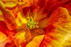 tulip, flower, nature, photograph, floral, orange, yellow