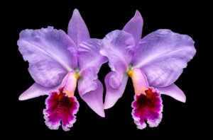 Cattleya, orchid, purple, twin, flower, nature, photograph, floral