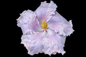 flower, nature, photograph, white, Hibiscus