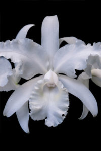 orchid, flower, nature, photograph, floral, white