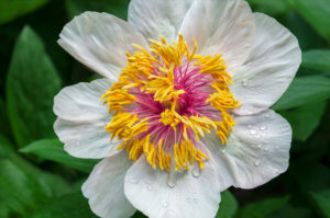 flower, nature, photograph, white, peony, yellow, floral, Winged Victory