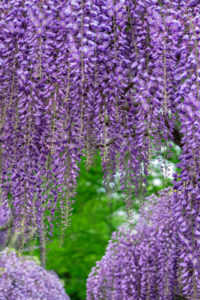 flower, nature, photograph, Wisteria, purple, floral