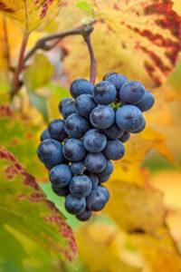 Burgundy, grapes, bunch, nature, vineyard, autumn