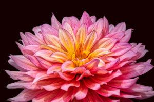 Dahlia, flower, nature, photograph, floral, pink