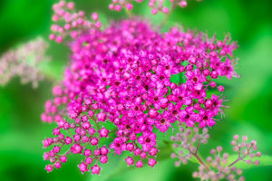 flower, nature, photograph, pink, Spiraea, floral