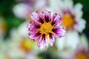 flower, nature, photograph, purple, Coreopsis, floral