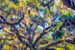 Live Oak, tree, nature, spring, Spanish Moss