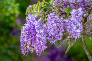flower, nature, photograph, Wisteria, purple, floral