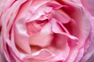 flower, nature, photograph, pink, rose, Heirloom Rose, floral