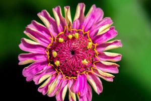 flower, nature, photograph, pink, Zinnia, floral