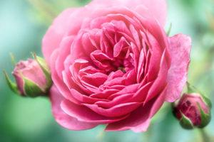 flower, nature, photograph, pink, rose, Heirloom Rose, floral