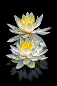 flower, water lily, white, nature, photograph, lotus