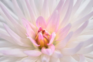 Dahlia, flower, nature, photograph, floral, white, pink