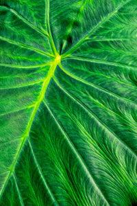 Taro, plant, leaf, foliage, texture, green, nature