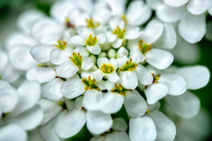 flower, nature, photograph, white, Rock Cress, floral