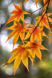 autumn, foliage, orange, leaf, Japanese Maple, nature