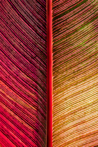 botanical, abstract, red, leaf, pattern, photograph, nature