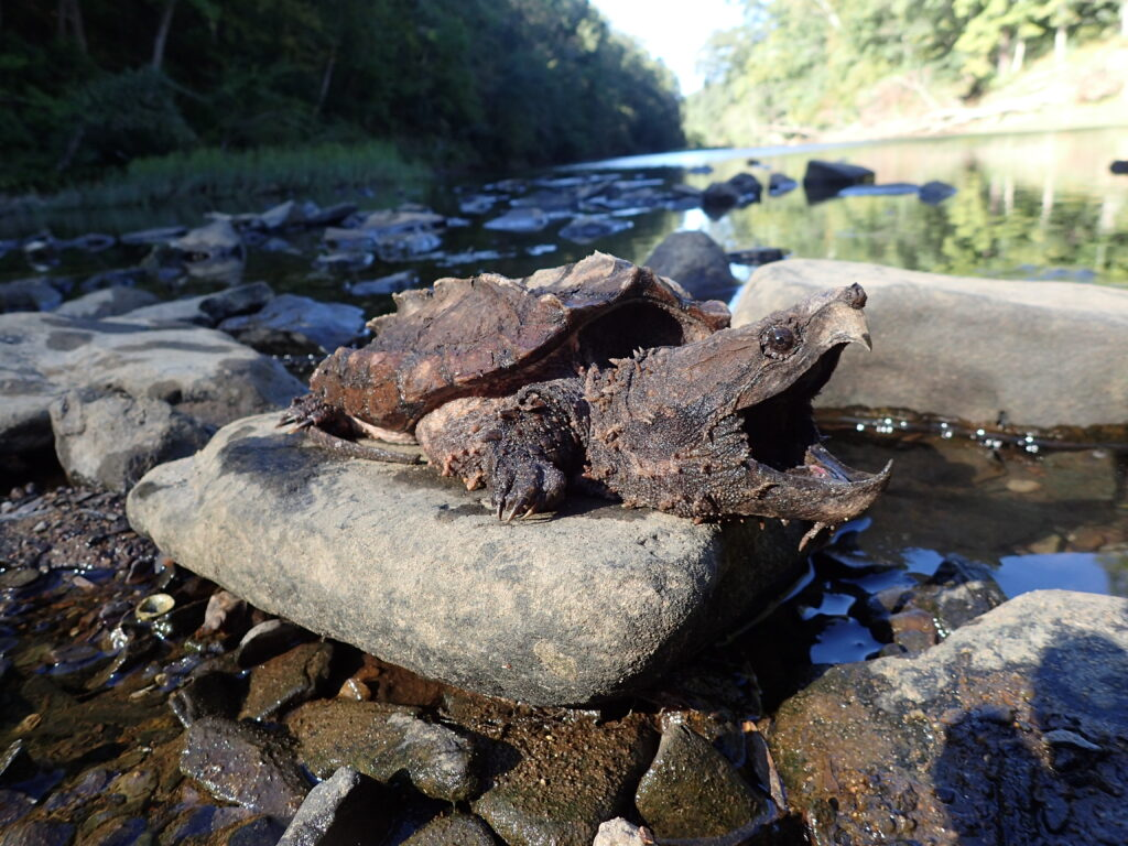 An snapping turtle, courtesy of the Urban Turtle project