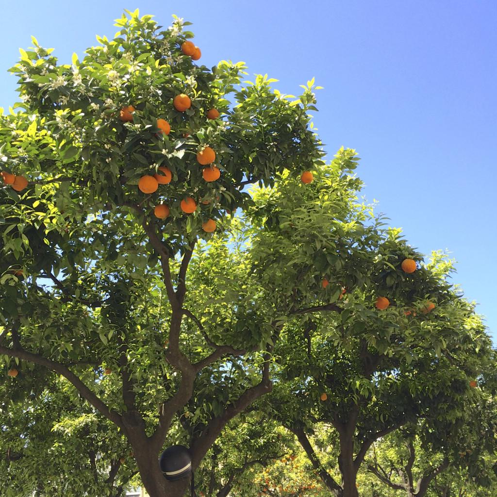 There were orange trees everywhere