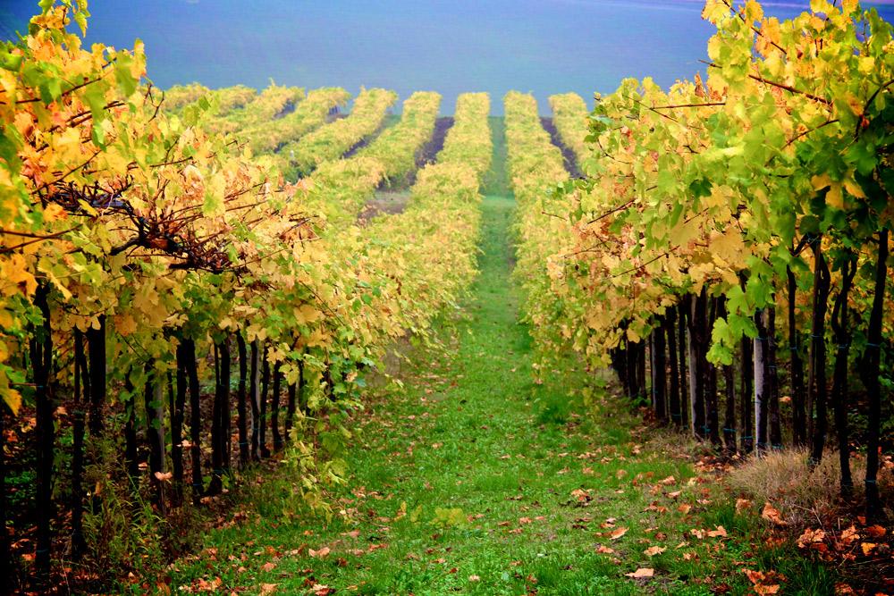 Vineyards in Emilia-Romana