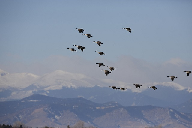 Geese against the Mountains