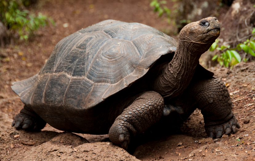 Gigant-Tourtle-from-Galapagos-Islands