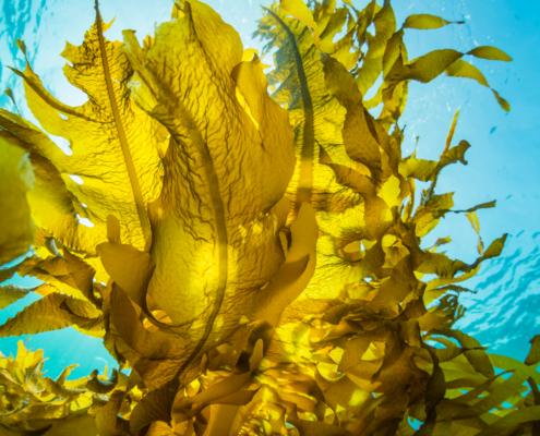 Seaweed Sargassum Biorefinery