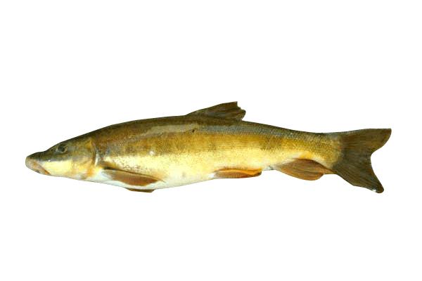 longnose sucker