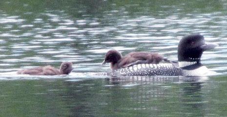 Loons on Mascoma Lake