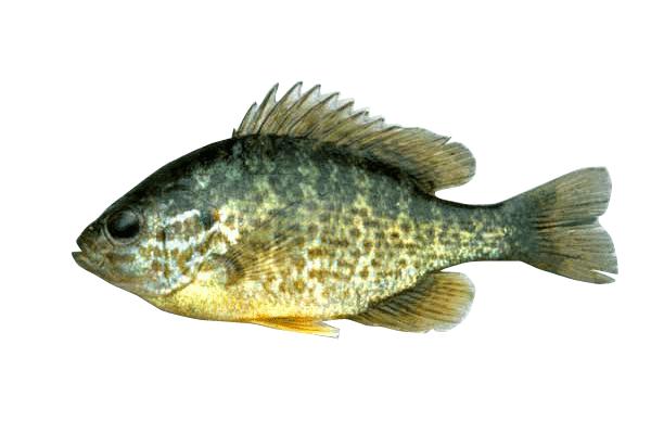 pumpkinseed fish