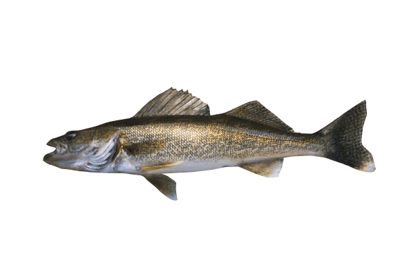 Walleye