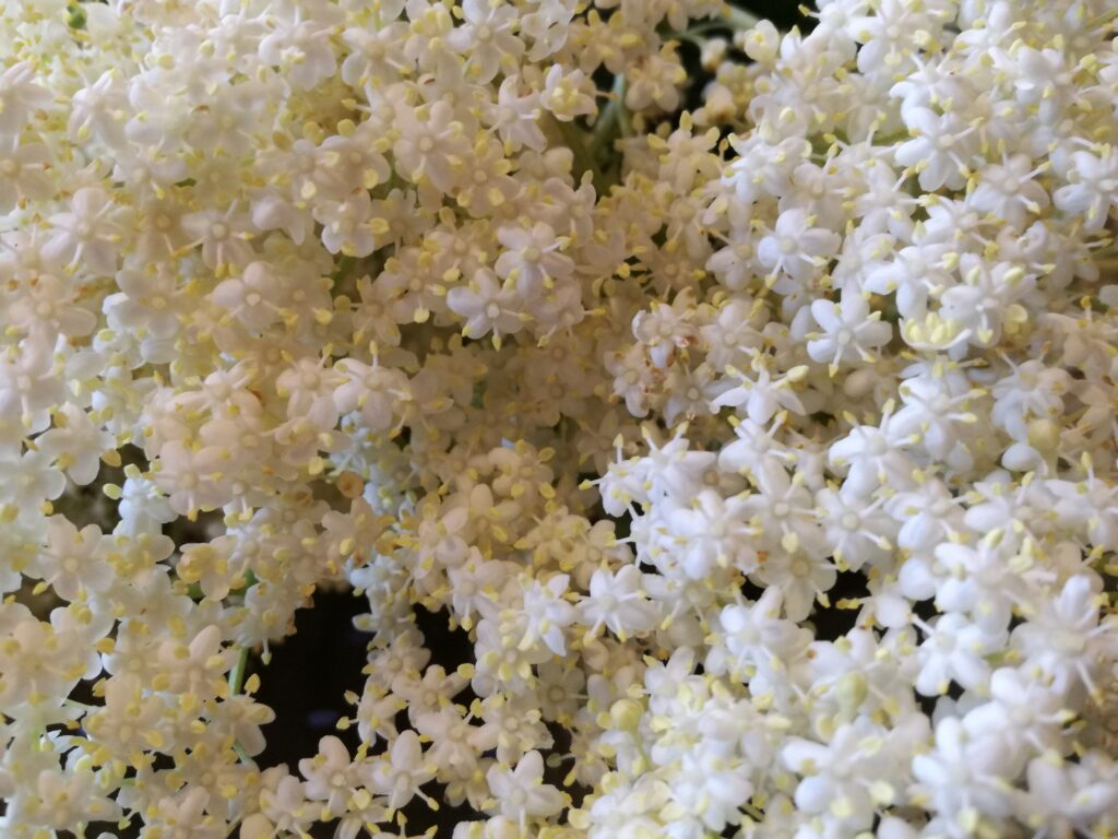 Pitlochrie Cottages recipes elder flower and strawberry syrup