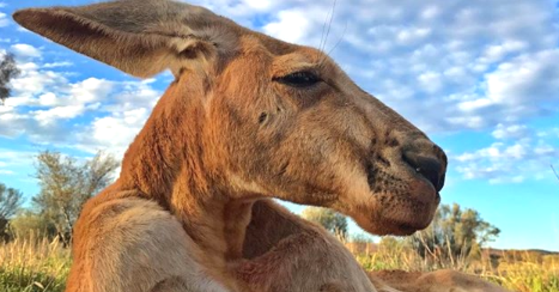 Roger, The Incredibly Buff Kangaroo, Has Died At Age 12
