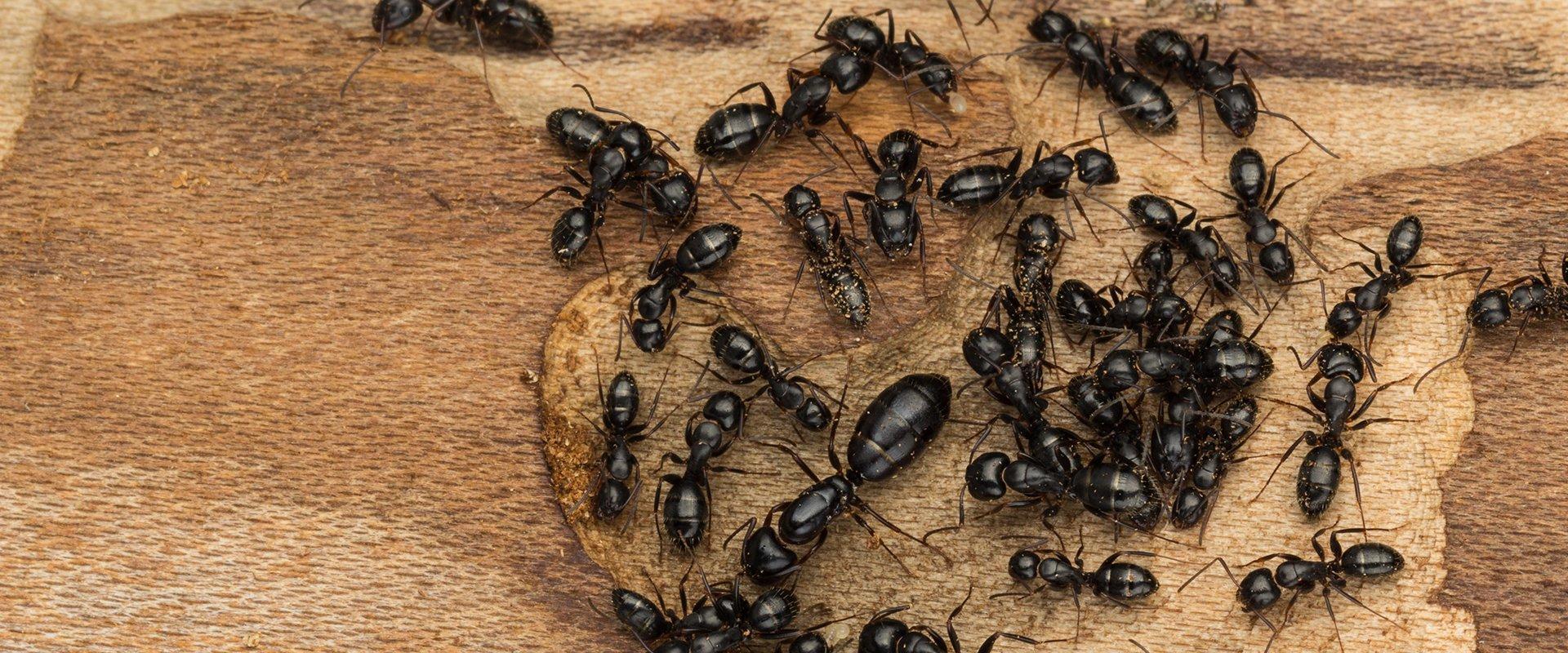 Carpenter ant exterminator Charlotte NC
