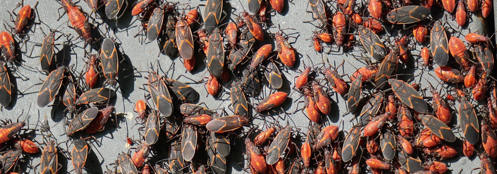 Box Elder Bug Control Charlotte NC