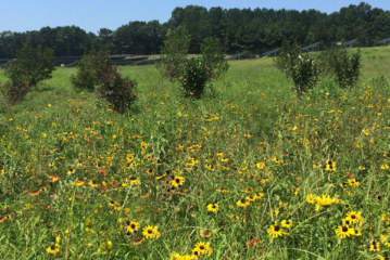 "NC Solar Farms Do ""Double Duty"" Helping Pollinators"