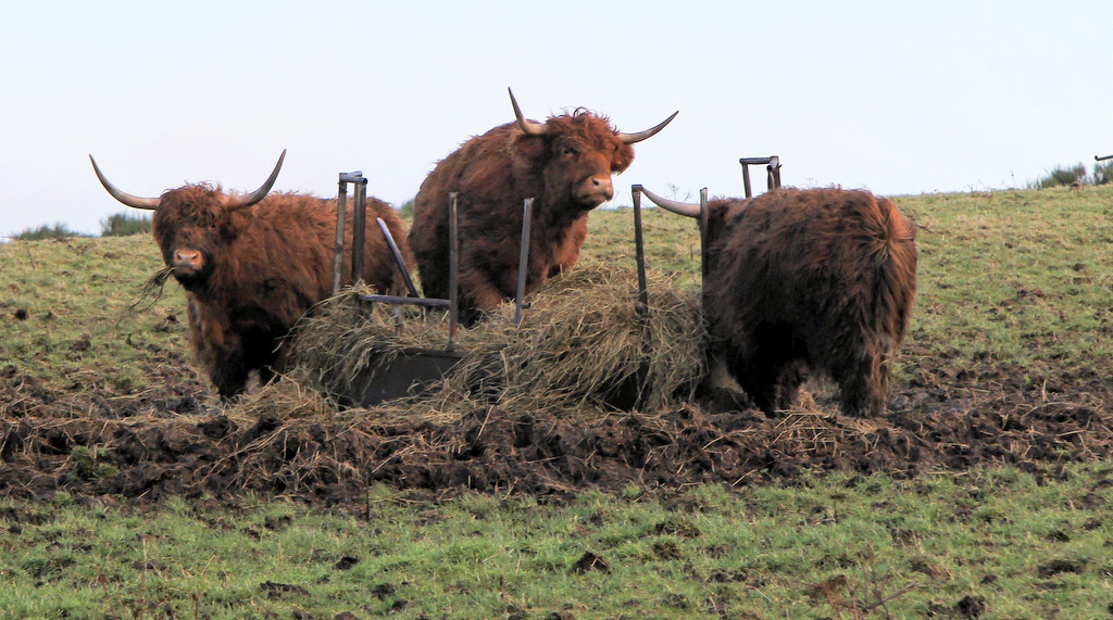 Highland coo, aka the highlight of the trip for Mrs. Wonk