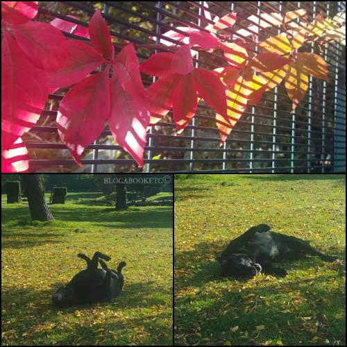Dogs, Labrador, Black Labrador, Autumn, Seasons, Blog A Book Etc, Fay