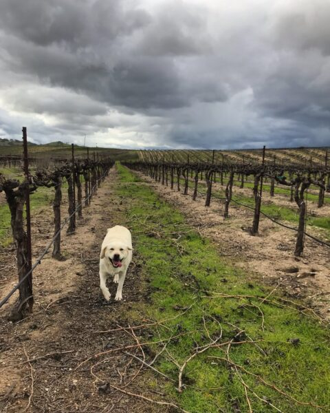 Gracie in the dormant vineyard