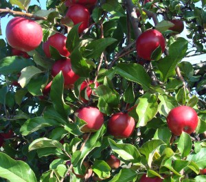 -absolutely_free_photos-original_photos-apples-apples-1920x1694_18564