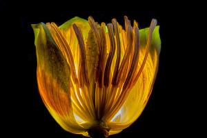 Tulip Poplar Flower Aglow