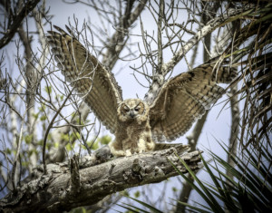 337-Great Horned Owl's First Flight