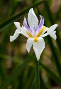339-Face of an Iris