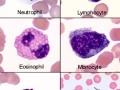 Equine blood cells