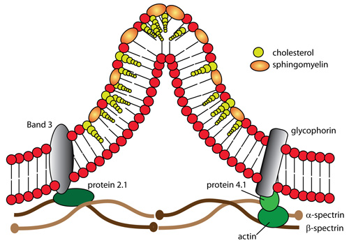 Acanthocyte formation