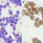 CD3 T cell canine