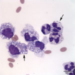 Figure3. Peritoneal fluid from an alpaca (Wright's stain, 100x objective)