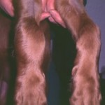 Severe hemarthrosis in a mixed breed dog with Hemophilia B