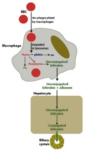 Extravascular hemolysis